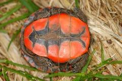 Tartaruga verniciata (picta del Chrysemys) Fotografie Stock