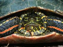 Tartaruga verniciata (picta del Chrysemys) Fotografia Stock Libera da Diritti