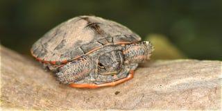 Tartaruga verniciata (picta del Chrysemys) Fotografia Stock