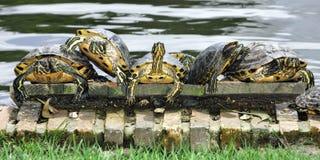 Tartarugas fotografia de stock royalty free