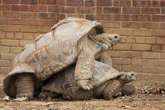 Tartarugas foto de stock