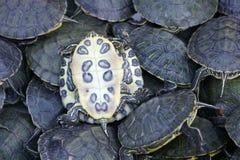 Tartarugas Fotografia de Stock