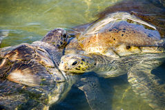 Tartarugas imagens de stock