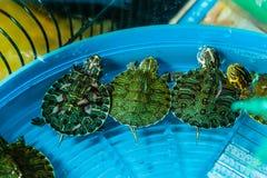Tartarugas Imagens de Stock Royalty Free