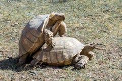 tartarugas imagem de stock