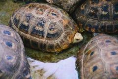 Tartarugas alongadas na lagoa concreta Foto de Stock