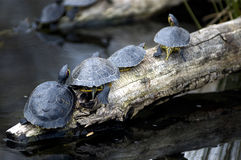 Tartarugas Basking Fotografia de Stock Royalty Free