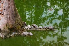 Tartarugas da água Imagens de Stock Royalty Free