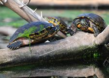 Tartarugas da água na filial Imagens de Stock Royalty Free