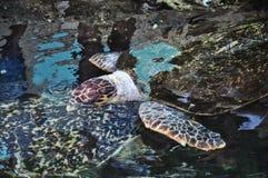 Tartarugas da natação fotos de stock royalty free