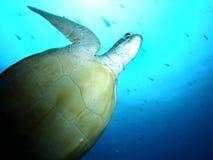 Tartarugas da natação Imagens de Stock