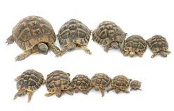 Tartarugas da tartaruga e do bebê de Hermanns Fotos de Stock