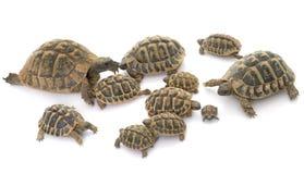 Tartarugas da tartaruga e do bebê de Hermanns Foto de Stock Royalty Free