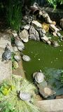 Tartarugas de água doce adormecidas no sol Fotos de Stock Royalty Free