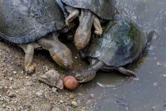 Tartarugas de água doce articuladas Cerated - parque nacional de Kruger Foto de Stock