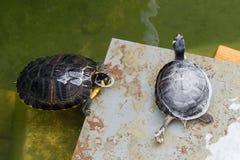 Tartarugas de água doce no fosso em torno do coreto em Tavira Imagens de Stock Royalty Free