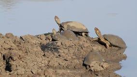 Tartarugas de água doce protegidas com capacete vídeos de arquivo