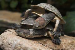 Tartarugas de agarramento Fotografia de Stock Royalty Free