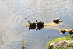 Tartarugas de agarramento no log Imagens de Stock Royalty Free
