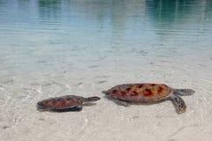 Tartarugas de mar fotografia de stock royalty free