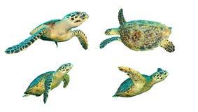 Tartarugas de mar isoladas Fotografia de Stock Royalty Free