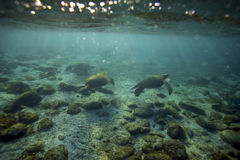 Tartarugas de mar que relaxam debaixo d'água fotos de stock royalty free