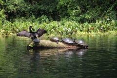 Tartarugas de prata de Florida do rio fotografia de stock royalty free