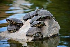 Tartarugas do banho de sol Imagem de Stock Royalty Free