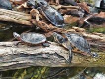 Tartarugas em Carolina Aquarium norte Fotos de Stock Royalty Free