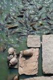 Tartarugas em rochas e muito carpa Fotografia de Stock Royalty Free