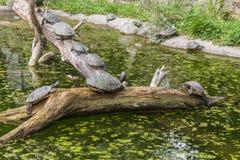 Tartarugas em um início de uma sessão uma lagoa Fotografia de Stock Royalty Free
