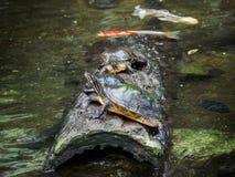 Tartarugas em um log Imagem de Stock Royalty Free
