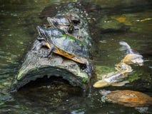 Tartarugas em um log Imagens de Stock Royalty Free