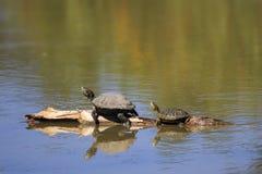 Tartarugas em um log Fotos de Stock Royalty Free