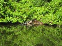 Tartarugas em um log Imagens de Stock