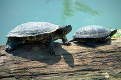 Tartarugas em um log perto da água Foto de Stock