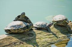 Tartarugas em um log perto da água Fotografia de Stock