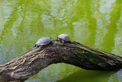 Tartarugas em um tronco de árvore em um lago verde Foto de Stock Royalty Free