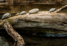 Tartarugas em um tronco de árvore perto da água imagens de stock
