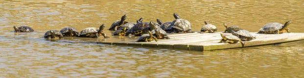 Tartarugas em uma jangada de madeira Imagem de Stock Royalty Free