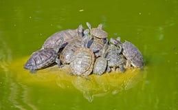 Tartarugas em uma pedra Imagem de Stock