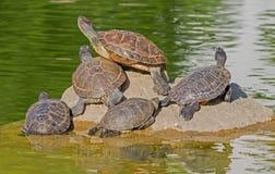 Tartarugas em uma pedra Foto de Stock