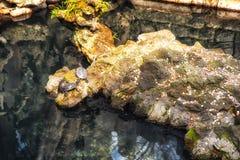 Tartarugas em uma rocha Fotos de Stock Royalty Free