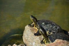 Tartarugas em uma rocha pela água imagem de stock royalty free