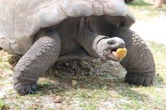 Tartarugas gigantes Imagem de Stock