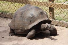 Tartarugas gigantes Foto de Stock Royalty Free