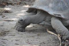 Tartarugas gigantes Fotos de Stock Royalty Free