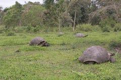 Tartarugas gigantes de Galápagos em um campo Fotografia de Stock Royalty Free