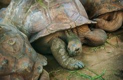 Tartarugas gigantes no jardim botânico de Pamplemousse Imagens de Stock