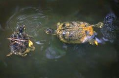 Tartarugas inchadas amarelo do slider Imagem de Stock